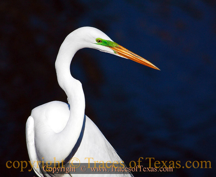 Title:   Sunshine on my Shoulders Makes me Happy<br /> <br /> Comments:  A great egret by any other name would still look as fine under a setting Texas sun. <br /> <br /> Location: High Island