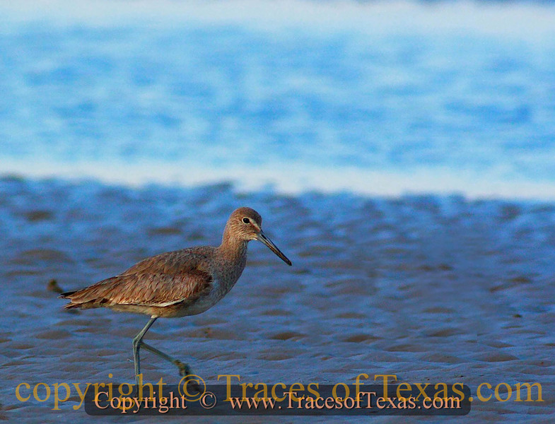 Title:   Long Legged Sagitarius Seeks Mate ... Likes Long Walks Along The Beach, rotten crustaceans etc ...<br /> <br /> Comments: The willet ( Catoptrophorus semipalmatus ) is also a sandpiper. Confused? Me, too.<br /> <br /> Location:  Gilchrest