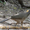 Title:   Chachalaca<br /> <br /> Comments: Whenever I see a Chachalaca (Ortalis vetula ), I am convinced that there is a direct link between birds and dinosaurs. If you've ever heard its raucous call, you will never forget it. It only lives in the United States in deep south Texas.<br /> <br /> Location: Brownsville, Texas