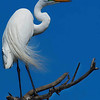 Title:   Proud Egret keep on Burning<br /> <br /> Comments: A great egret vainly preens in hopes of attracting a mate. <br /> <br /> Location: High Island