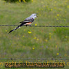 Title:   Every Garden Grows One<br /> <br /> Comments: Song sung blue by a scissortail flycatcher.<br /> <br /> Location: Salado, Texas