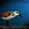 Title:   Sonny the Semipalminated Sandpiper<br /> <br /> Comments: <br /> <br /> Location: Bolivar