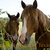 Title:   Equine So Fine<br /> <br /> Comments: I tricked these horses into thinking that I had an apple. I feel kind of bad about it now.<br /> <br /> Location: Palestine, Texas