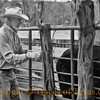 Title:   Time to Castrate the Calves<br /> <br /> Comments: <br /> <br /> Location: Bend
