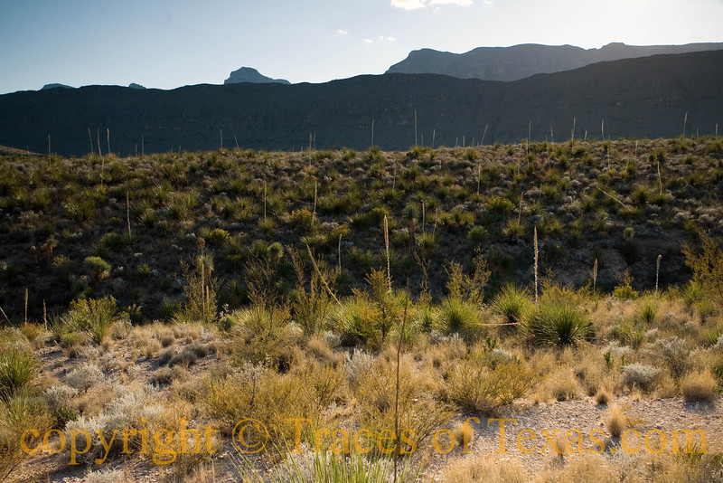 Title:   Yucca Convention<br /> <br /> Comments:  All of these yuccas got together and decided to have a convention ....<br /> <br /> Location:  Black Gap Wildlife Management Refuge