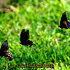 Title: Impression of Three Butterflies  <br /> <br /> Comments: <br /> <br /> Location: Lexington