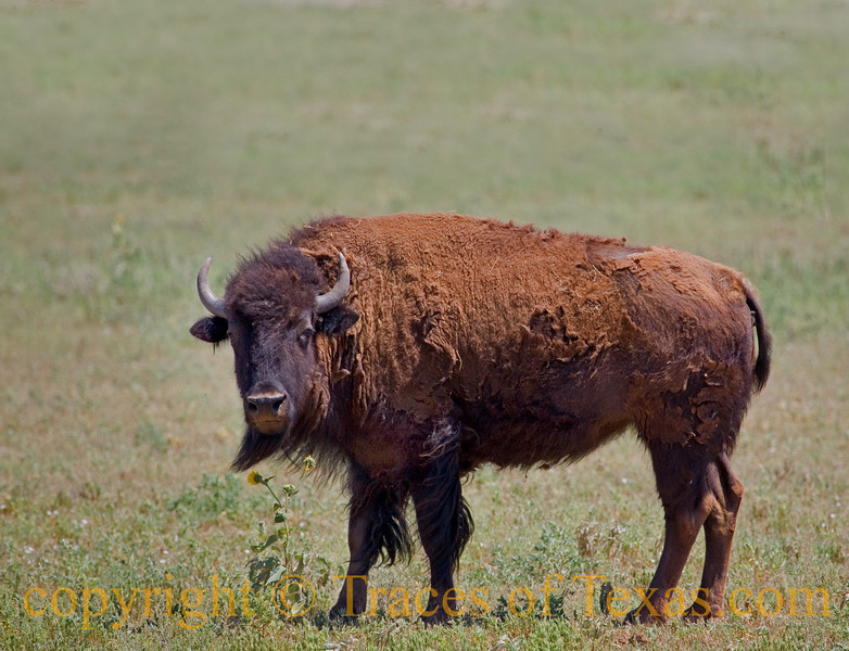 Title:  Shaggy Buffalo<br /> <br /> Comments: A face that only a mother could love.<br /> <br /> Location:  Crosbyton