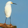 Title:   Snowy Egret Redux<br /> <br /> Comments: <br /> <br /> Location: Anahuac National Wildlife Refuge