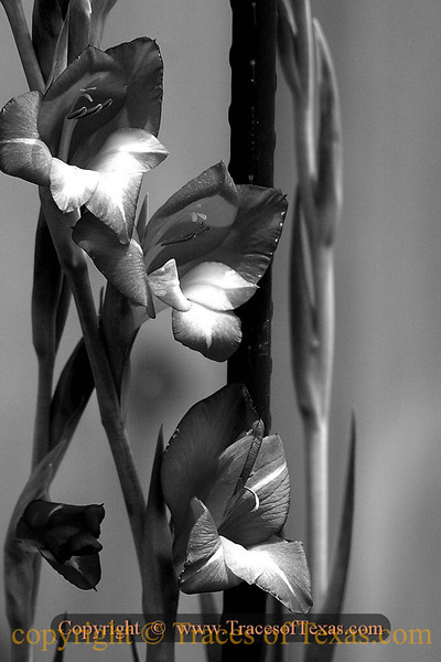 Title:   Gladiolas in a Garden<br /> <br /> Comments: <br /> <br /> Location: Austin, Texas
