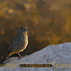 Title:   Woke Up this Morning, Smiled at the Rising Sun<br /> <br /> Comments: Canyon Towhee (Pipilo fuscus) in Guadalupe Mountains National Park.  The male's song is a musical series of six evenly spaced phrases: chili-chili-chili-chili-chili-chili<br /> <br /> Location: Guadalupe Mountains National Park