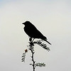 Title:   Cowbird Singing at the Dead of Dawn<br /> <br /> Comments: Foggy mornings in West Texas are a rarity. <br /> <br /> Location:Big Bend National Park