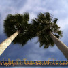 Title:   Tale of Two Palms<br /> <br /> Comments: <br /> <br /> Location: Port Aransas