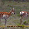 "Title:   Home, Home on the Range<br /> <br /> Comments: I'm not sure these pronghorn antelope were actually ""playing"" as the song says, but they looked to be enjoying themselves.<br /> <br /> Location: Ft. Davis"