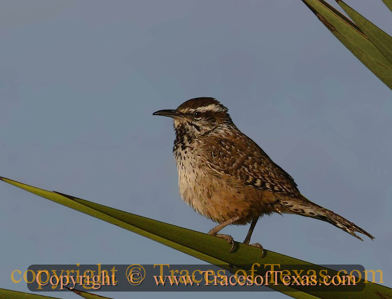 Title:   Little Known Fact: Cactus Wrens Love to Sunbathe<br /> <br /> Comments:  Campylorhynchus brunneicapillus out on a sunny day. They are pretty gregarious and also pretty loud, as wrens tend to be.<br /> <br /> Location: Laguna Atascoca National Wildlife Refuge