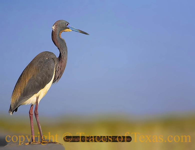 Title:   On the Boardwalk<br /> <br /> Comments: Tricolor Heron<br /> <br /> Location: Rockport