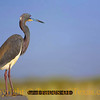 Title:   On the Boardwalk<br /> <br /> Comments: Tricolor Heron<br /> <br /> Location: Rockport