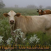 Title:   I Want to Live Like this Cow<br /> <br /> Comments:  Many in these parts think that cows are stupid but I say they are merely contemplative.<br /> <br /> Location:  Manheim, Texas