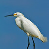 Title:   Nice Day for a Suntan <br /> <br /> Comments: Snowy Egret ( Egretta thula )<br /> <br /> Location: Ingleside on the Bay