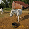 <br>TItle: It's Good Luck when a Horse Winks at You  Comments:  This old horse was having trouble moving around. I didn't see anybody, so I went ahead and gave him an apple. He was most appreciative.  Location:  Near Blieberville
