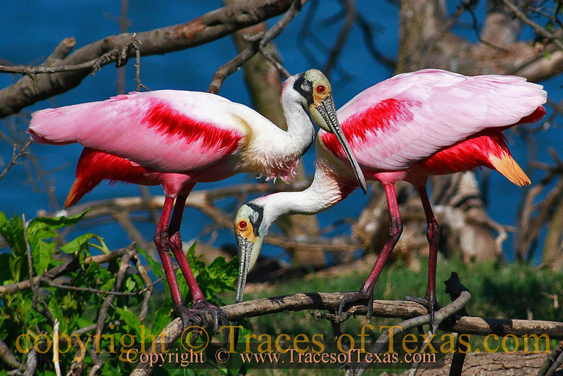 Title:   Pardon Me. Just Passing Through ...<br /> <br /> Comments: Does any bird in North America look more primitive than the Roseate Spoonbill?<br /> <br /> Location: High Island
