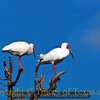 Title:   Unless you are the lead Ibis, the view never changes<br /> <br /> Comments: <br /> <br /> Location: High Island