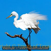"Title:   You say ""Ardea alba,""   I say ""Great Egret""<br /> <br /> Comments: Were I to be a bird, I think being an egret would be a pretty cool gig. They get to spend a lot of time in the water and seem to spend hours preening. <br /> <br /> Location: High Island --- before Hurricane Ike."