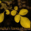 "Title:   Yellow<br /> <br /> Comments: :Long ago near Marfa a middle-aged woman loaded everything she owned onto a truck and drove the truck off a ravine into a canyon. After that, we are told, she lived ""like simple yellow leaves.""<br /> <br /> Location: Marfa"