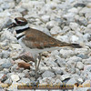 Title:   Killdeer<br /> <br /> Comments: The Killdeer ( Charadrius vociferu ) is supposedly a shorebird but I'll be danged if I don't see them everywhere. I even hear their distinctive call at night when they fly at night.  <br /> <br /> Location: On the prairie near Katy