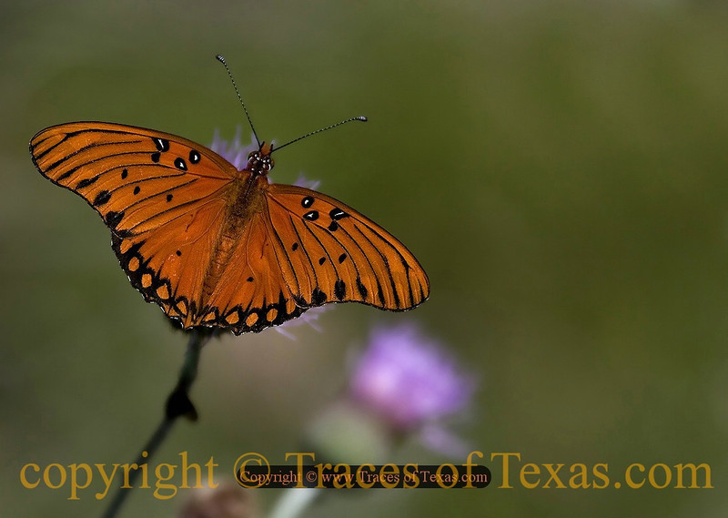 Title:   As Soft and Gentle as a Sigh<br /> <br /> Comments: Need to identify this. <br /> <br /> Location:  Blanco, Texas