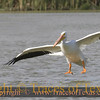 Title:   Cleared for Landing <br /> <br /> Comments: Texas has two varieties of pelicans, the brown and the white pelican. Guess which this one is? Yup. Pelacanus erythrorhynchos. <br /> <br /> Location: Port Aransas, Texas