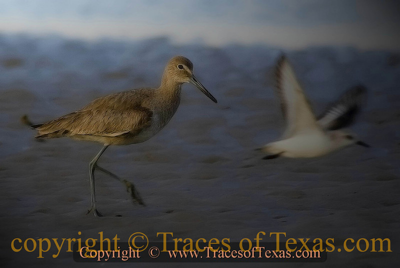 Title:   Just Passin' Through <br /> <br /> Comments: Willets, seagulls ... our bounty is endless.  <br /> <br /> Location: Bolivar Peninsula
