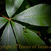 Title: What is it About Sunlit Leaves?<br /> <br /> Comments: I can't resist photographing them.  Something about the way they move in and out of dappled light strikes me as an unexpected gift.<br /> <br /> Location: Caddo Lake State Park