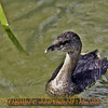 Title: Least Grebe<br /> <br /> Comments: Pied Bill Grebe<br /> <br /> Location: Port Aransas, Texas