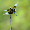 Title:   Only For a Moment and the Moment's Gone 1<br /> <br /> Comments: I was fast, but the dragonfly was faster. <br /> <br /> Location: Beaukiss