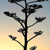 Title:   Lamentation in Agave, Mountain, and Sunrise<br /> <br /> Comments: <br /> <br /> Location: Chinati Mountains