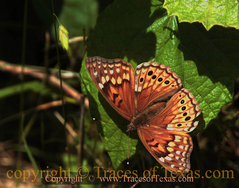 Title:   Gift from the Forest Floor<br /> <br /> Comments: One day, I will try to learn about Texas butterflies so that I can identify all those that I have photographed.<br /> <br /> Location: Hornsby Bend