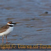 Title:   Red Rover, Red Rover .. Can Wilson's Plover Come Over?<br /> <br /> Comments: I just love these  Wilson's Plovers. They're really animated little guys.  Latin name is Charadrius wilsonia. Loves to eat crab. <br /> <br /> Location:  Mustang Island