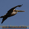 Title:   A Wondrous Bird is the Pelican<br /> <br /> Comments: His bill can hold more than his belly can.  Due to DDT, the Brown Pelican ( Pelicanus occidentalis ) was on the verge of extinction back in the early 1970's. It is still endangered but growing less so each year. <br /> <br /> Location: Adolph Thomae City Park, Rio Hondo Texas