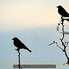 Title:   Another Way of Looking at Two Cowbirds<br /> <br /> Comments: <br /> <br /> Location: Big Bend National Park