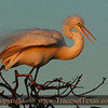 Title:   Sundown on Great Egret <br /> <br /> Comments: <br /> <br /> Location: High Island