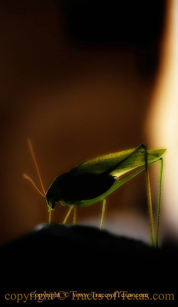 """Title:   Katy Did What?<br /> <br /> Comments: Texas is loaded with cool-looking bugs, including the raucous katydid ( Pterophylla camellifolia ). When they get to rubbing their forewings together to """"sing"""" to each other, they can make a heck of a racket. <br /> <br /> Location: Brackettville"""