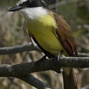 Title:   My Little Kiskadee<br /> <br /> Comments: The Kiskadee is a striking inhabitant of the Rio Grande Valley. It is a tremendously acrobatic bird, its maneuverability allowing it to nail bugs in midflight. <br /> <br /> Location:  Sabal Palm Audubon Sanctuary near Brownsville