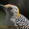 Title:   Woodrow Woodpecker III<br /> <br /> Comments: Golden fronted woodpecker (Melanerpes aurifrons) in the awesome Laguna Atascosa National Wildlife Refuge.<br /> <br /> Location: Rio Hondo