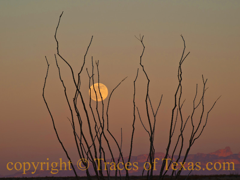 Title: It's A Marvelous Night for a Moondance<br /> <br /> Comment: When the moon dances behind the Ocotillo, you know that a blessed even will unfold. <br /> <br /> Location: Big Bend