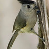 "Title:   For Some Reason, I Just Really Like Saying ""Black Crested Titmouse.""<br /> <br /> Comments: The Black-Crested Titmouse ( Baeolophus atricristatus ) is the largest of the titmice.  A group of titmice are collectively known as a ""banditry"" and a ""dissimulation"" of titmice.<br /> <br /> Location: Santa Anna National Wildlife Refuge"