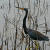 """Title:   Shhh ....!   I Think he Sees Me!<br /> <br /> Comments: Spent my whole life calling these """"Louisiana Herons""""  only to find out that """"Tricolor Heron (Egretta tricolor)""""  is the preferred nomenclature.  <br /> <br /> Location:"""