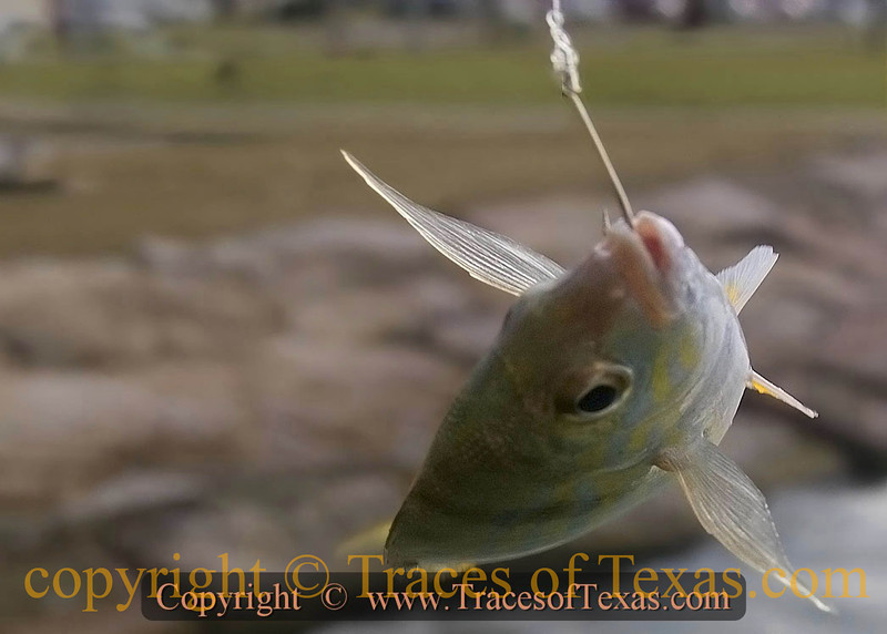 Title:   Mack Davis did Not Write this Song <br /> <br /> Comments: This piggy perch is definitely hooked on me. <br /> <br /> Location: Mustang Island