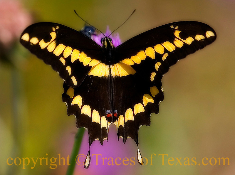 Title: Yellow and Black and Pink<br /> <br /> Comments: Swallowtails are so cool. <br /> <br /> Location: Aransas National Wildlife Refuge