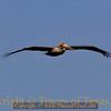 Title:   Coming in for a Landing<br /> <br /> Comments: The Brown Pelican ( Pelecanus occidentalis) was once extremely rare in Texas. In the early 70's, there may have been less than 20 breeding pairs. Outlawing DDT  has allowed it to stage a spectacular comback. <br /> <br /> Location: