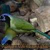 Title:   He Rocks in the Treetop, all Day Long<br /> <br /> Comments: Green Jays (Cyanocorax yncas) are raucous birds. The only place they are found in the United States is in extreme south Texas.<br /> <br /> Location: Anahuac National Wildlife Refuge